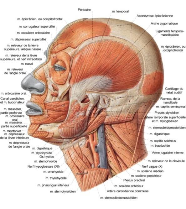muscles tête et cou